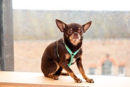 emerald teeny dog harness