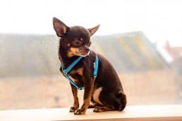 sky blue teeny dog harness