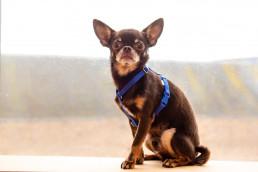 royal blue teeny dog harness