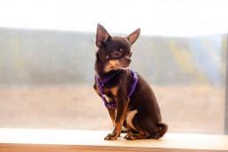 purple teeny dog harness