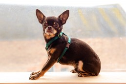 forest green teeny dog harness