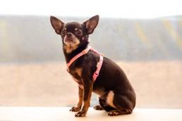 baby pink teeny dog harness