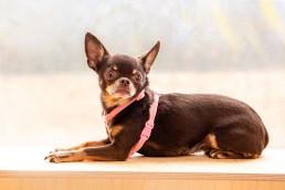 pink velvet teeny dog harness