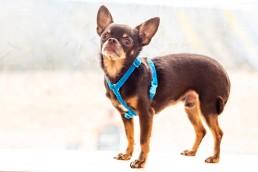 sky blue velvet teeny dog harness