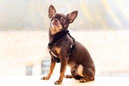 black velvet teeny dog harness